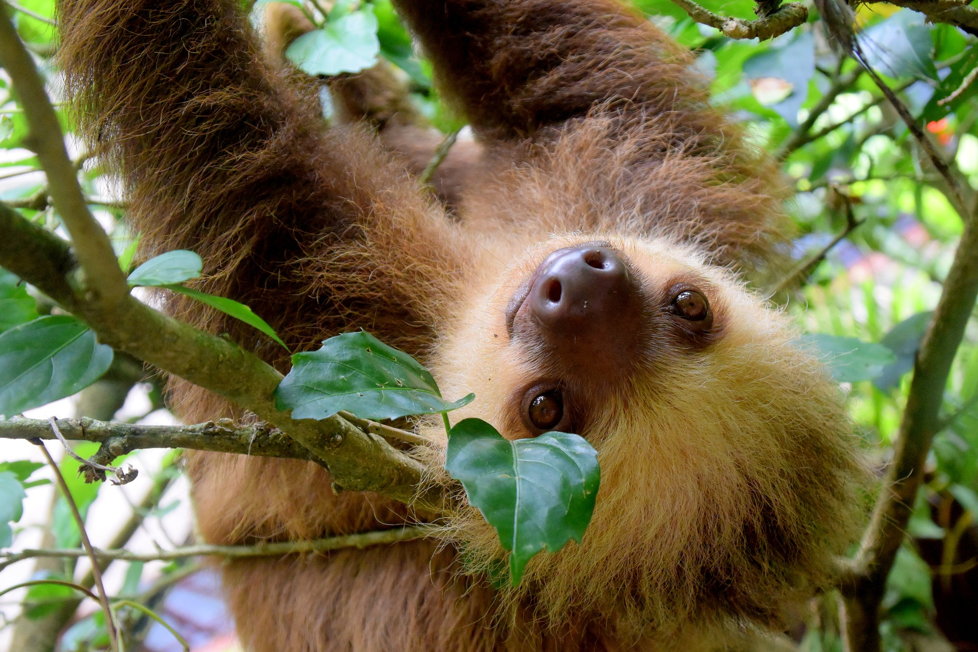 Sloth in Costa Rica hanging upside down from a tree branch